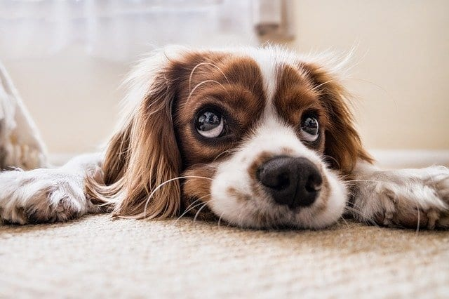 Flooring For Your Home - Dog on carpet