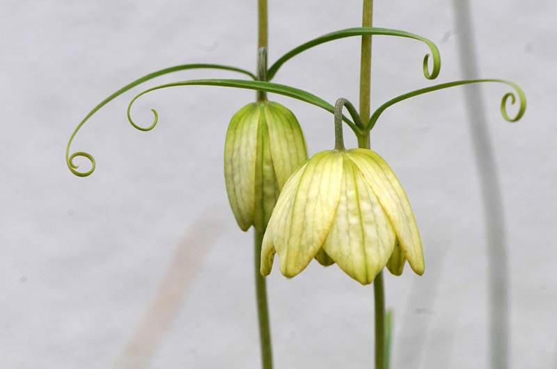 貝母   路傍の花