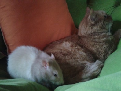 A gigantic tan and white rat sits next to a ginger tabby cat.