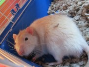A sweet and adorable tan and white rat who has a piece of litter on his leg.