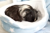 GuineaPigs-fleece-Ziggys Piggies-Ann Charlotte Photography@2016-9