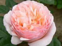 Princess Charlene Garden Rose