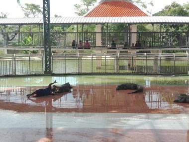 Tailandia - Espectáculo de cocodrilos