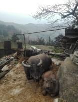 Buffalos de Yuanyang