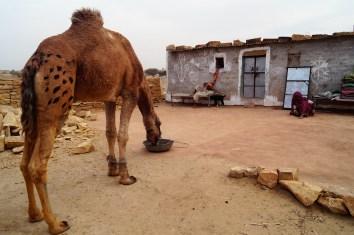 Jaisalmer - Safari desierto Thar 01