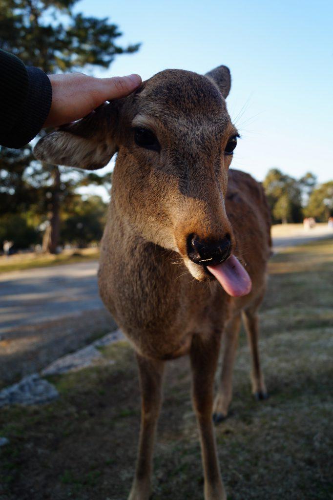 Nara Ciervo del parque de Nara 682x1024 - Nara Park and the Sacred Deer of Japan