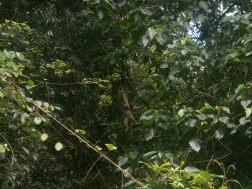 Gibon in Khao Yai National Park