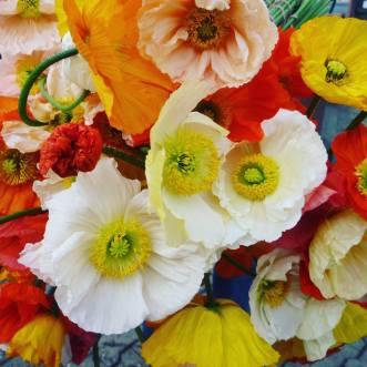 Mohn als Schnittblume für die Vase von Rosen Rösch