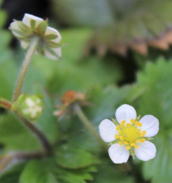 Erdbeere_Blüten