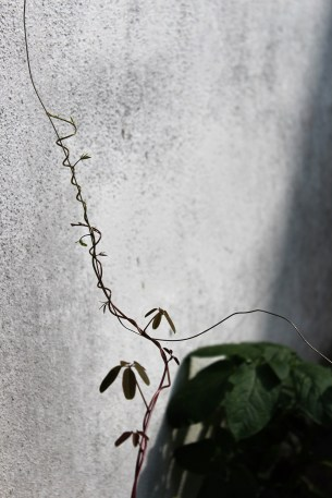 2016-08-24_Native Plants_Akebia(02)