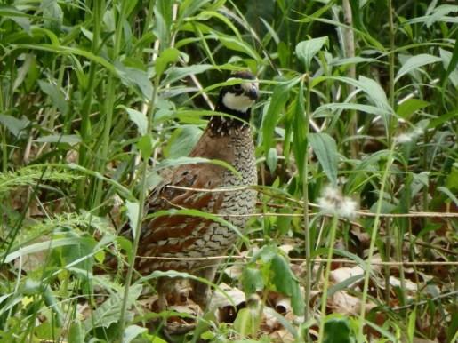 quailingrass(Parke)