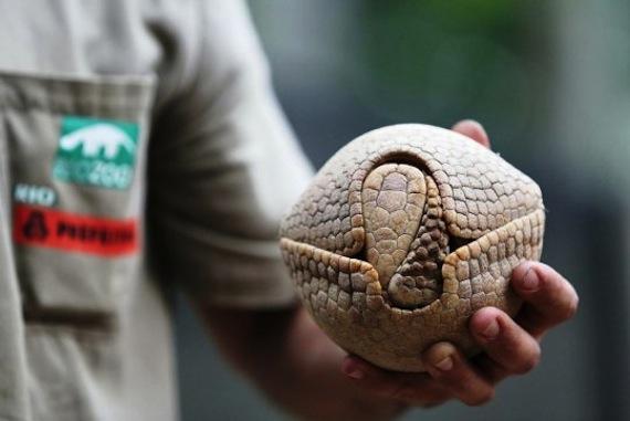 El armadillo de tres bandas es una especie amenazada a la que la llegada del Mundial supuestamente iba a beneficiar. Foto: EFE