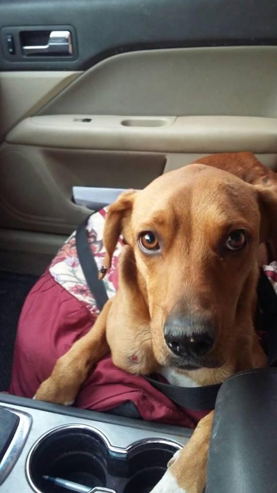 Boby mejora con las sesiones de quimioterapia que recibe cada semana y cuando esté completamente recuperado, será puesto en adopción.