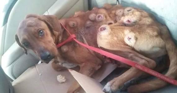 Él es Boby, un perro que fue abandonado en Sonora y hallado por rescatistas con varios tumores en todo su cuerpo. Foto: Cortesía-Dalia Gámez.