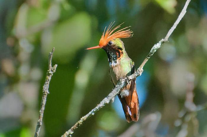 Coqueta de Atoyac, la especie más amenazada de los colibríes endémicos de México. Foto: eol.org