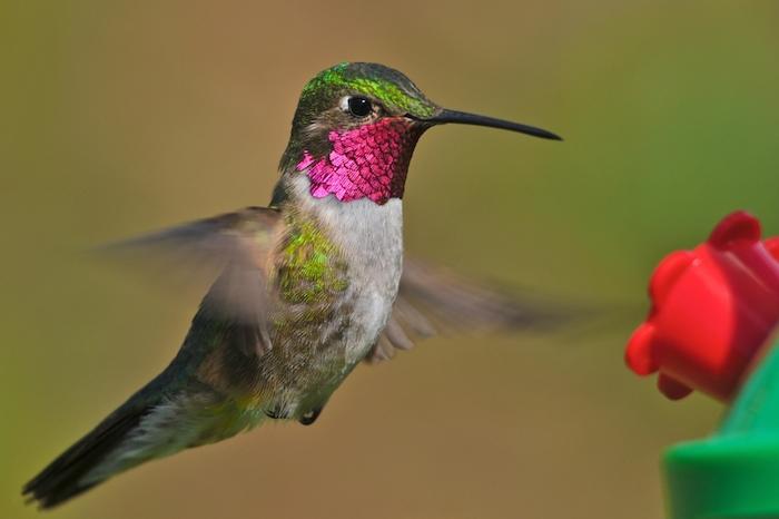 Macho de colibrí picudo coroniazul, una de las 57 especies que se distribuyen en nuestro paísFoto: Shutterstock