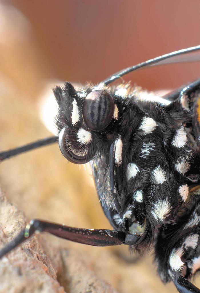 La lente del fotógrafo permite ver de cerca a las monarcas que acaban de nacer. Foto: Daniel Bates Hurtado/Vanguardia