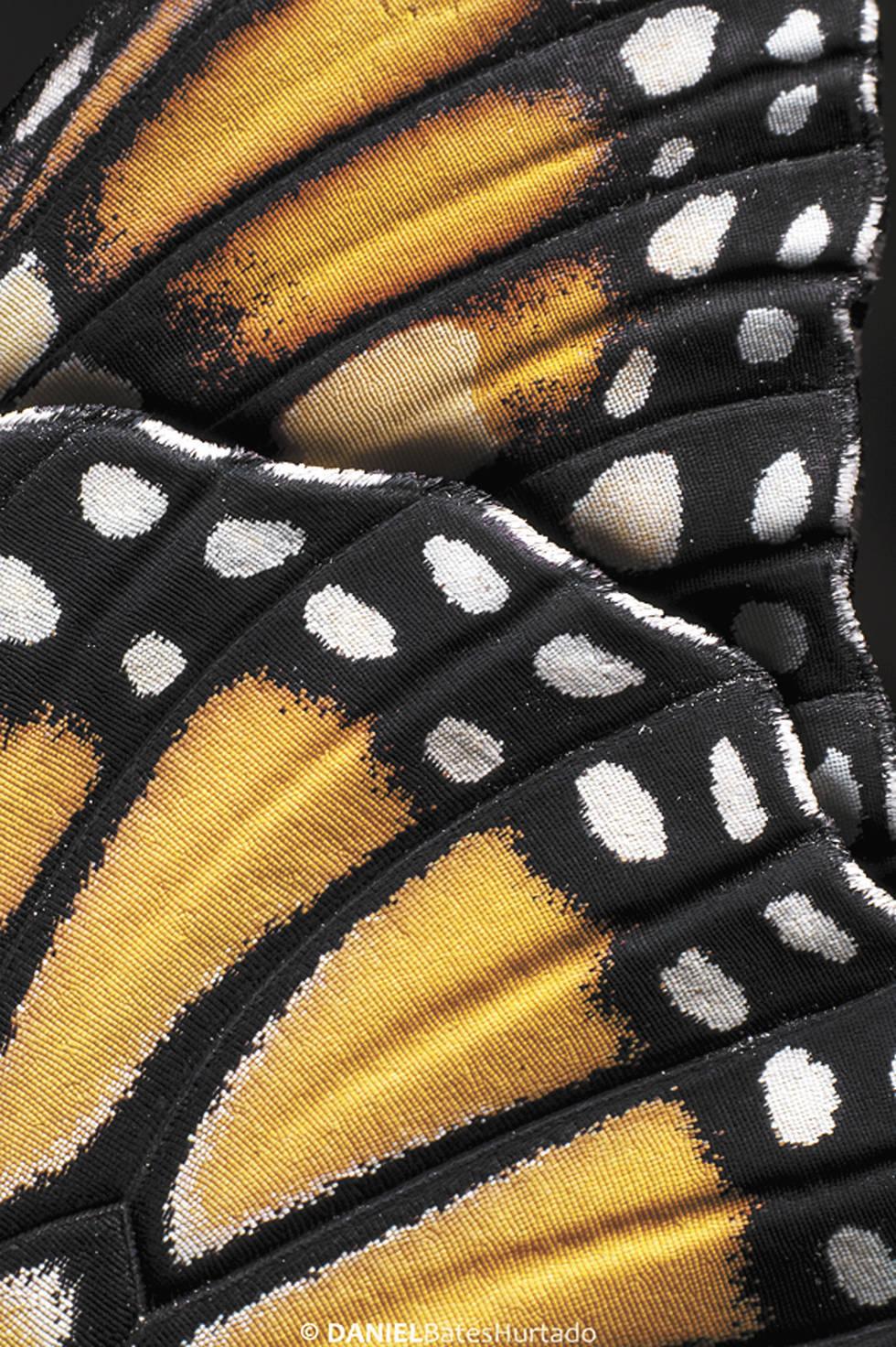 La perfección En dos semanas, la oruga se convierte en mariposa dejando ver la obra de arte de la naturaleza en sus alas.Foto: Daniel Bates Hurtado/Vanguardia