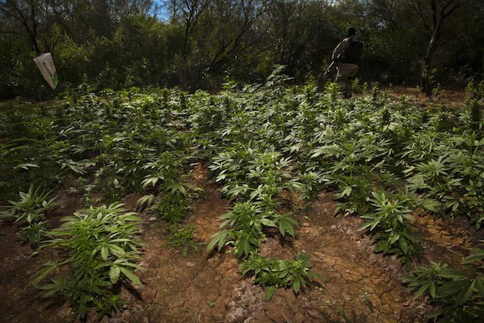 Plantío de mariguana en Navolato, Sinaloa. Foto: Cuartoscuro/Archivo.