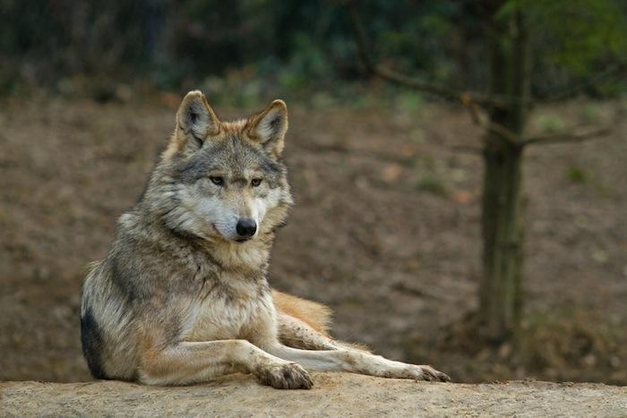 El lobo mexicano, un caso especial. Foto: Shutterstock.