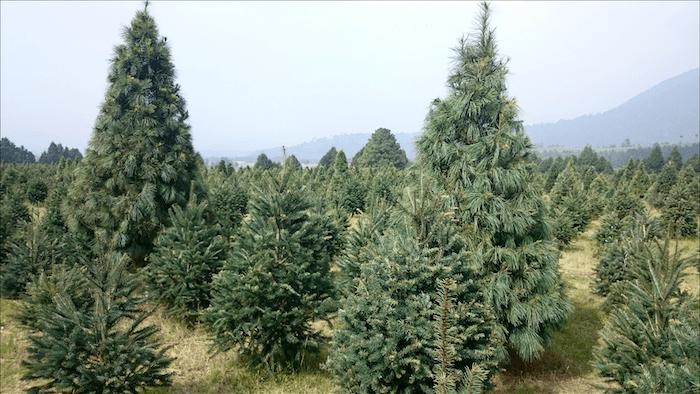 Una foto del Bosque de los Árboles de Navidad en en Amecameca. Foto: Oswin Bravo, Google Imagen,