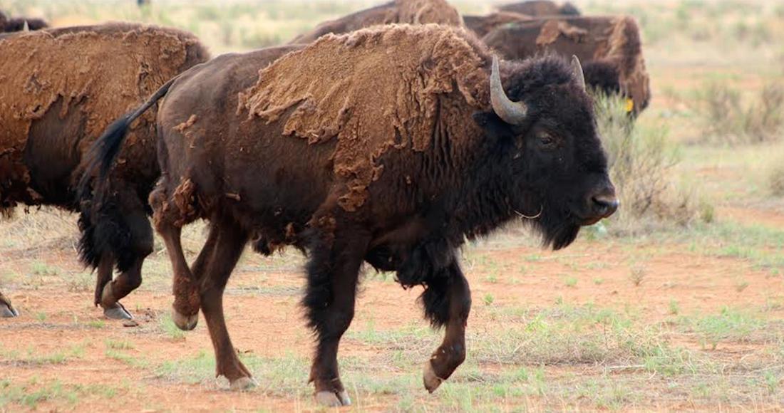 bisontes chihuahua - FOTOS: Manada de bisonte americano se establece en Chihuahua después de 100 años de ausencia
