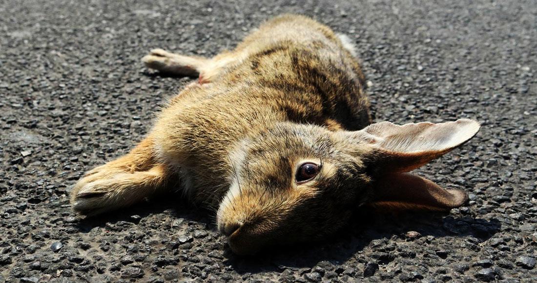 Una Enfermedad Hemorrágica Parecida Al ébola Mata A Conejos Domésticos Y Salvajes En México Y Eu Sinembargo Mx
