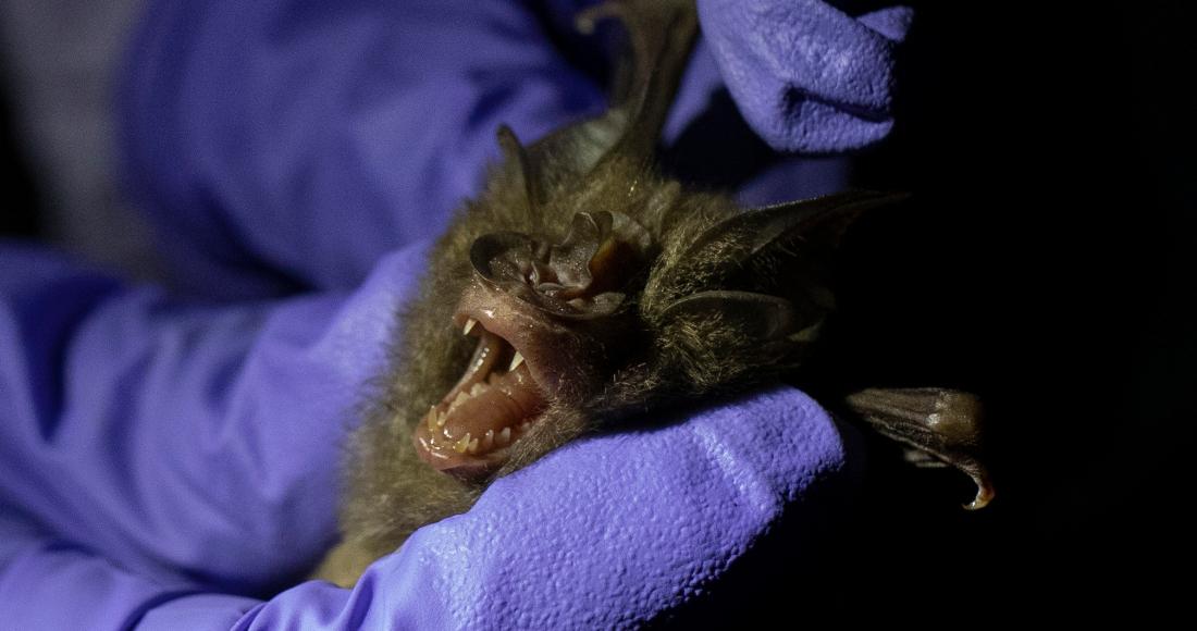1 29 - ¿Los murciélagos dan pistas para prevenir otra pandemia? En Brasil, científicos estudian la situación