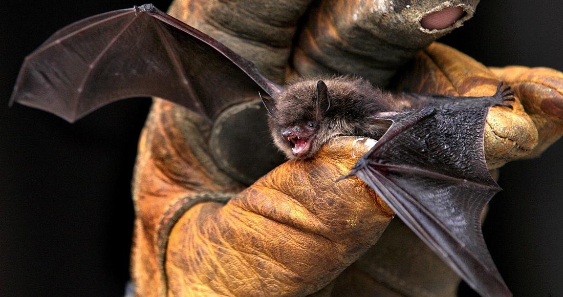 befunky collage 50 - ¿Los murciélagos dan pistas para prevenir otra pandemia? En Brasil, científicos estudian la situación