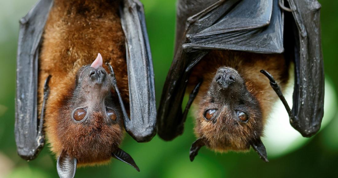 befunky collage 2020 12 05t090641 051 - ¿Los murciélagos dan pistas para prevenir otra pandemia? En Brasil, científicos estudian la situación
