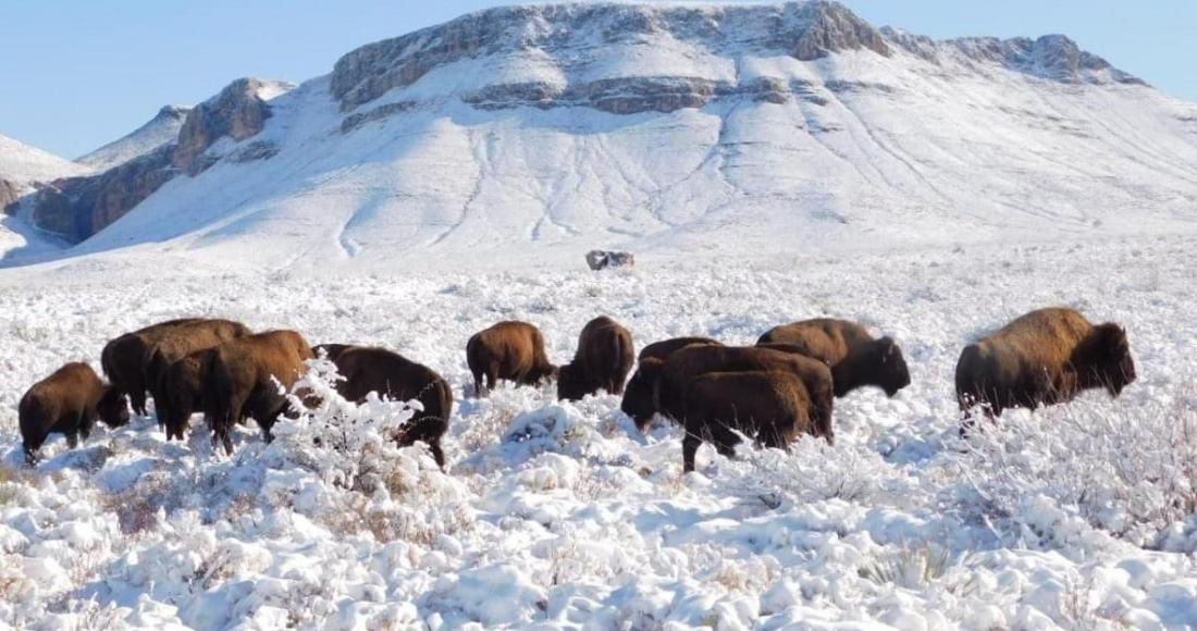 erja9cqucaavvzb 1 1 - La Secretaría de Medio Ambiente de Coahuila denuncia ante la Profepa la caza ilegal de bisontes