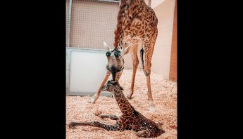 jirafa-madre-bebe