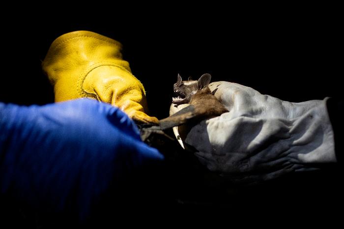 se 0301 17 - ¿Los murciélagos dan pistas para prevenir otra pandemia? En Brasil, científicos estudian la situación