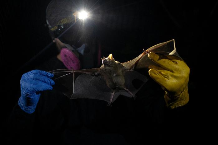 se 0301 18 - ¿Los murciélagos dan pistas para prevenir otra pandemia? En Brasil, científicos estudian la situación
