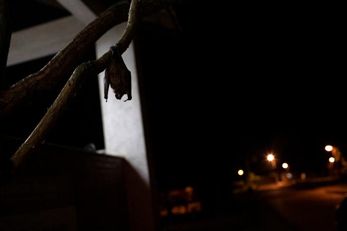 se 0301 21 - ¿Los murciélagos dan pistas para prevenir otra pandemia? En Brasil, científicos estudian la situación