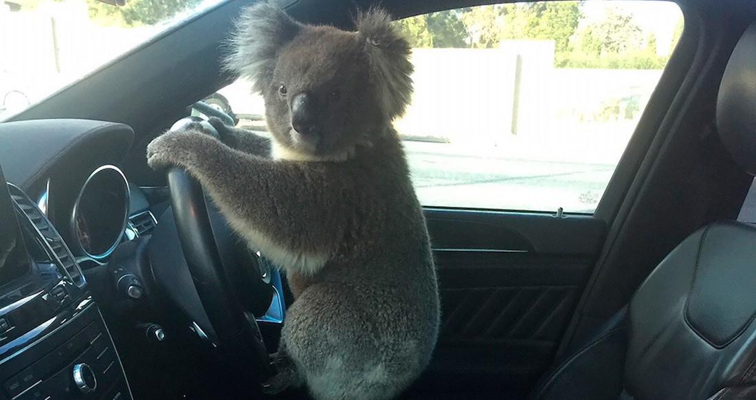 koala - Chewy, un perro de Reino Unido, pierde su pasaporte en Tepoztlán y recibe ayuda de la Embajada