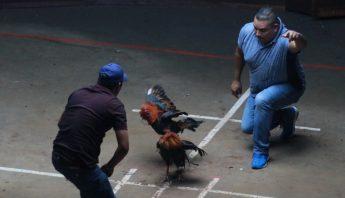 pelea-gallos