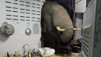 Elefante entra a una casa en Tailandia