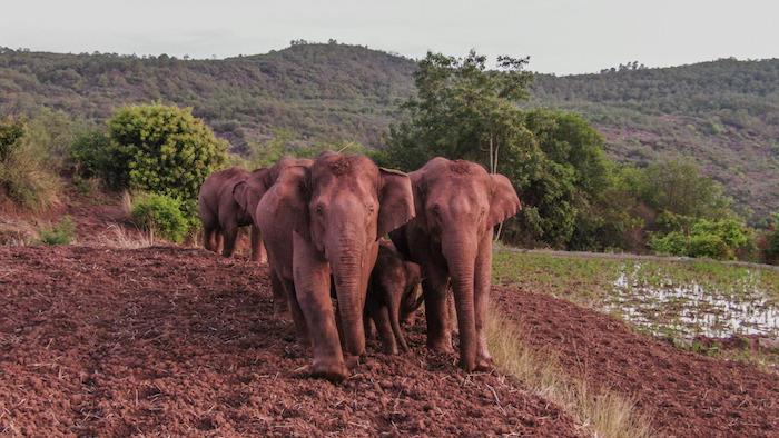 De los 15 elefantes, un macho se separó de la manada y se encuentra actualmente a unos cuatro kilómetros al noreste del grupo, de acuerdo con el mando en el lugar que sigue a los elefantes.
