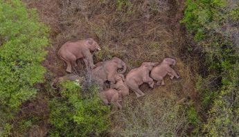Manada de elefantes descansa en ciudad de China