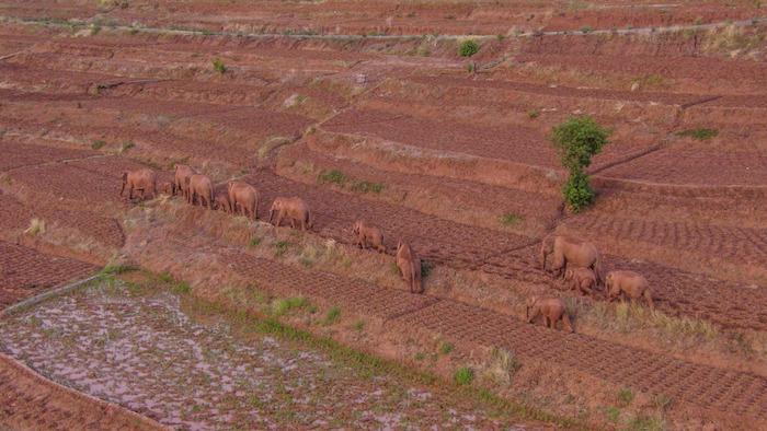 Una manada de elefantes asiáticos silvestres hizo una escala temporal en su migración en las afueras de la ciudad suroccidental china de Kunming, informaron el lunes pasado las autoridades.