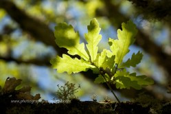 Oak leaf in the sun
