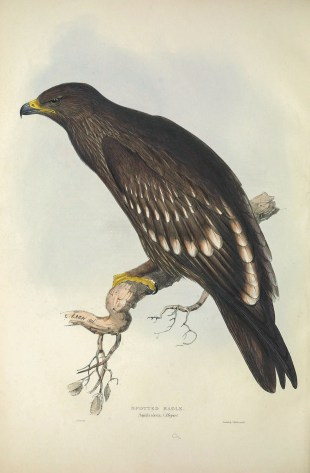 In the drawing, the eagle is simply called the Spotted Eagle. Subsequent findings have split this into the Greater and Lesser Spotted Eagle. In Singapore, the Greater Spotted Eagle is an uncommon passage migrant.