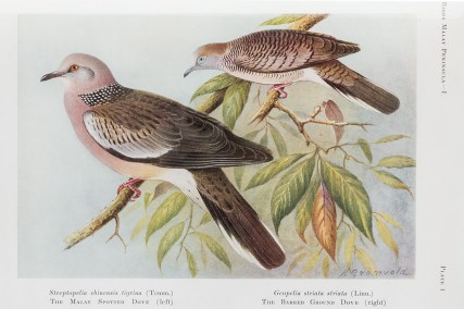 The Spotted Dove on the left and the Zebra Dove on the right. These two are still common birds in Singapore. Many of the names of the birds have changed over the past 80 years.