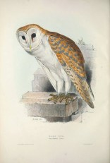 The Western Barn Owl is an uncommon resident owl in Singapore. The painting by Edward Lear also depict this bird with a background of man-made structure, precisely where they are normally found in Singapore too.
