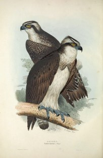 The Western Osprey is a can be found the whole year around in Singapore, although numbers increase greatly during winter months due to some birds migrating southwards. It is a fish-eating bird of prey, found mainly near the coast.