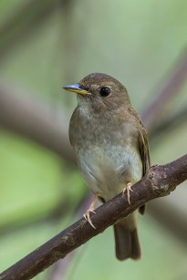An adult Brown-chested Jungle Flycatcher in spring migration. Taken at Bidadari in April 2015.