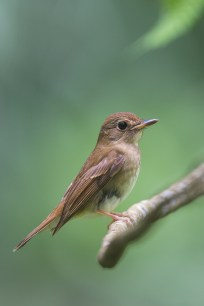 Brown-chested Jungle Flycatcher perched on a low branch, below eye level.