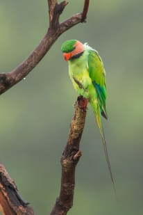 An adult Long-tailed Parakeet drying itself at Jelutong Tower at Macritchie Reservoir.