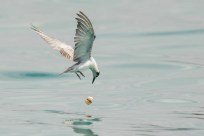 Action sequence of White-winged Tern fishing jellyfish-5